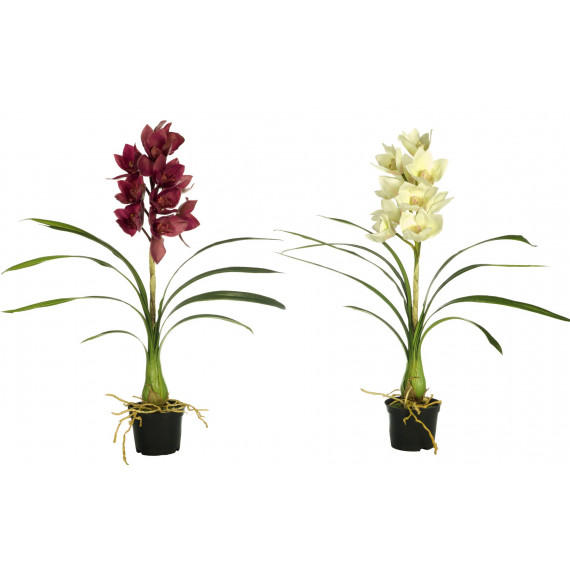 CYMBIDIUM LATEX C/H 74CM C/MACETA
