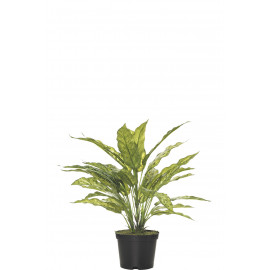 478893-001 FB MATA AGLAONEMA X5/30H 42CM C/M (478116) Color : VR
